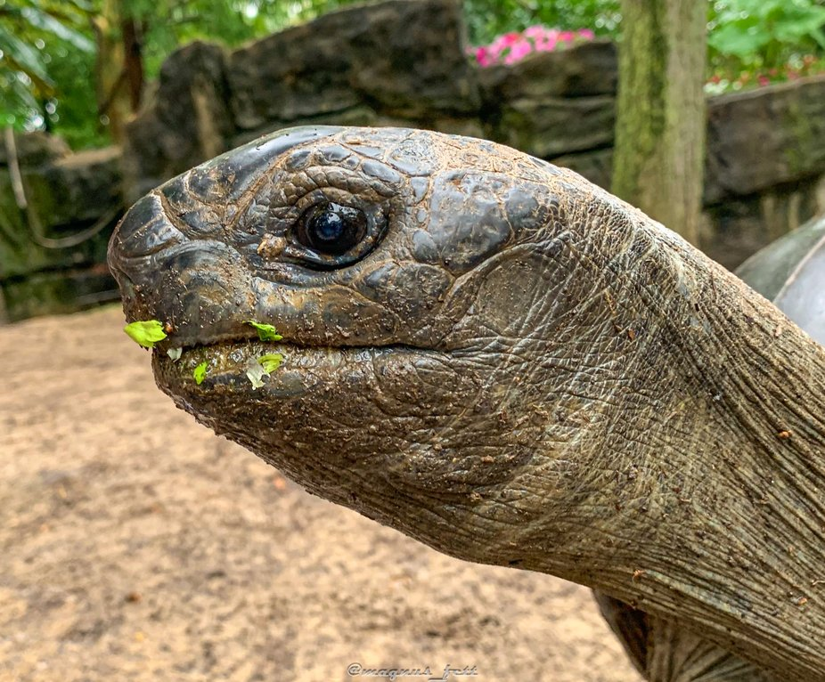 Galaphogos tortoise
