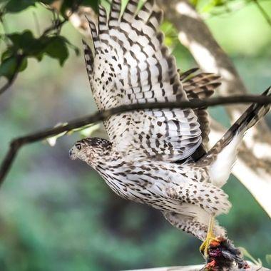 Juvenile Cooper's hawk with Cardinal.  DSC_1968-2