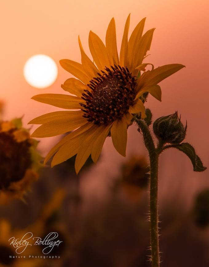 Sunsets, great lighting, and sunflowers make for incredible summer evenings.