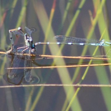 Damselflies on the dam