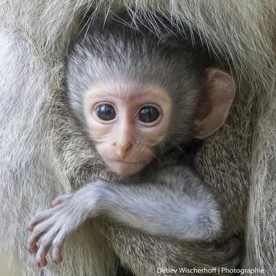 Vervet Monkey Kid