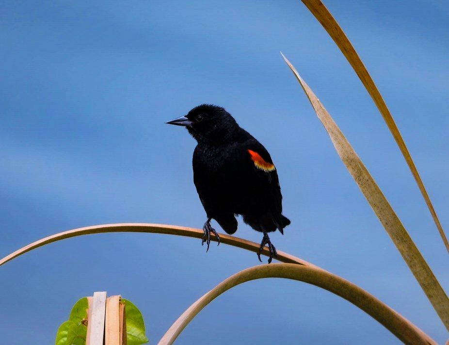 Red-winged Blackbird-1