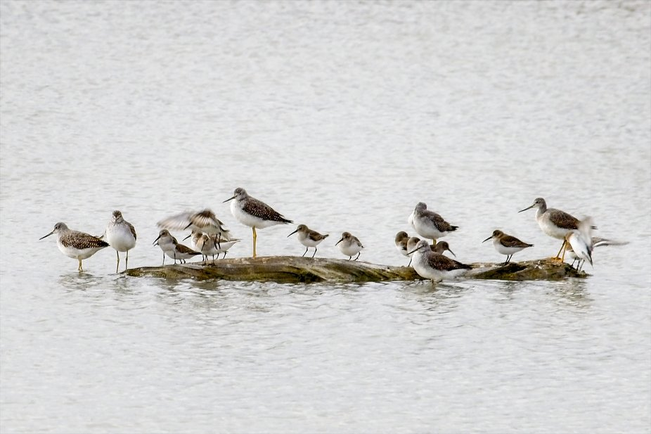 Dunlins and Yellowlegs share a small log in the tide flats of Puget Sound in the Skagit Valley of Washington.