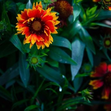 Red-and-Yellow-Bloom_1