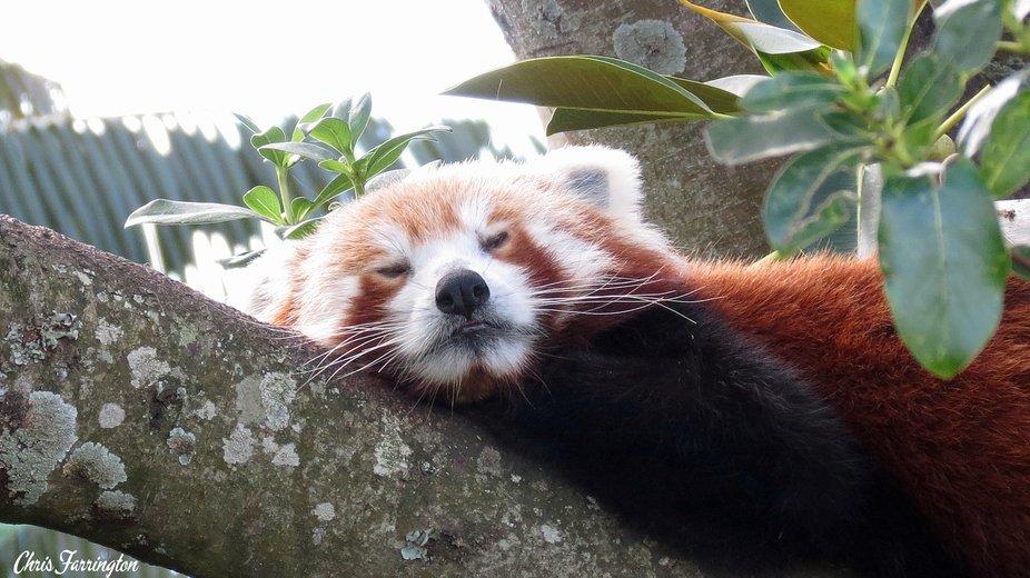 Red panda dozing