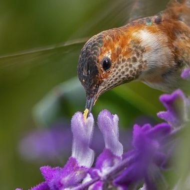 Allen's Hummingbird DSC09977