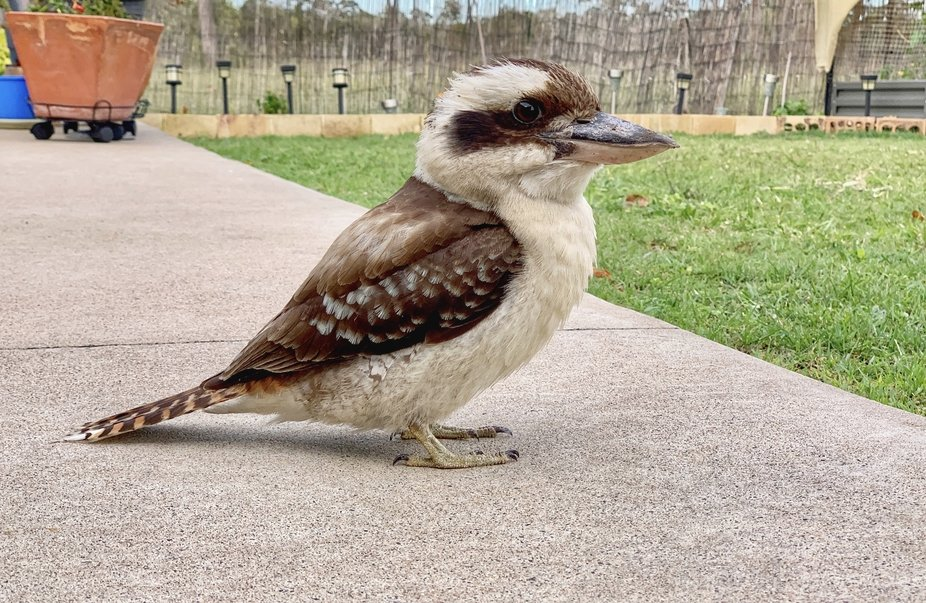 This kookaburra is a regular visitor and has now trusts me enough to eat out of my hand. The fact...