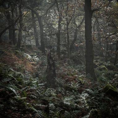Misty woodland scene