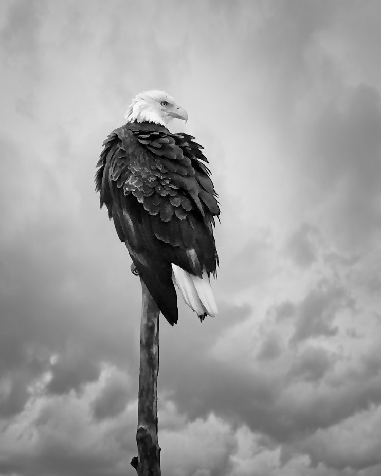 A Bald Eagle sits atop a dead tree in the Wylie Slough area on Fir Island near Conway, Washington. This is in a preserve area with extensive hiking trails...