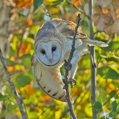 Barn Owl DSC07597