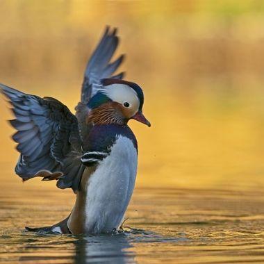Mandarin Duck male DSC07243