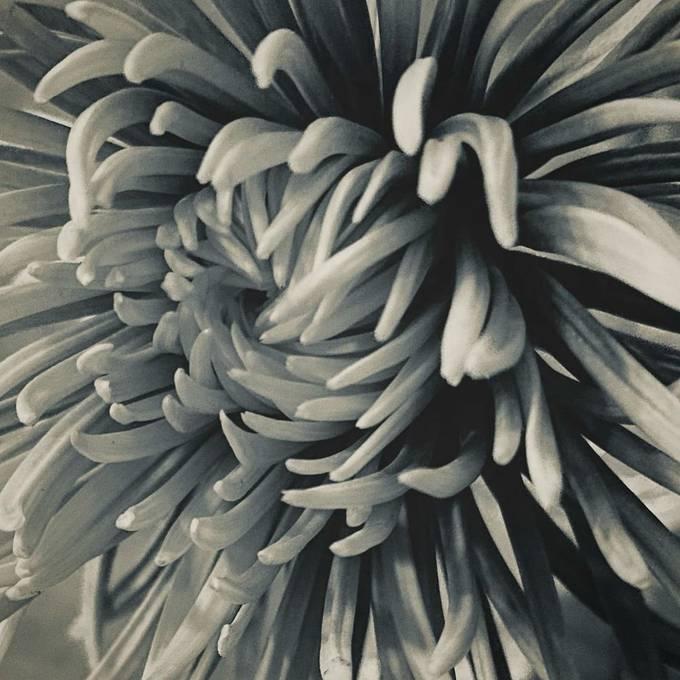 #flowerburst #prettyflower #cedarislandnc #blackandwhitephotography