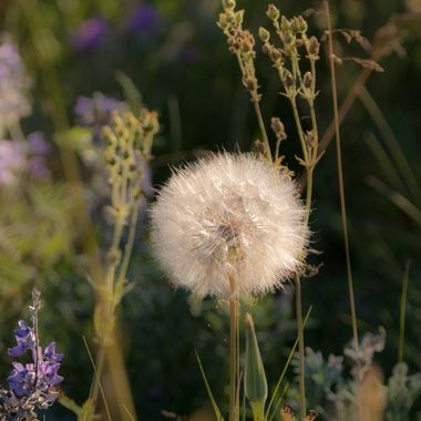 Seed from Dandelion