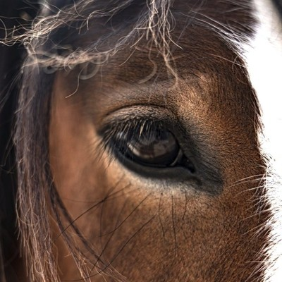 Cowboy the Clydesdale