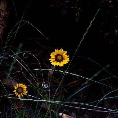 0P6A5743 Sun Flower