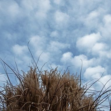 Dried fountain grass on a cloudy day.