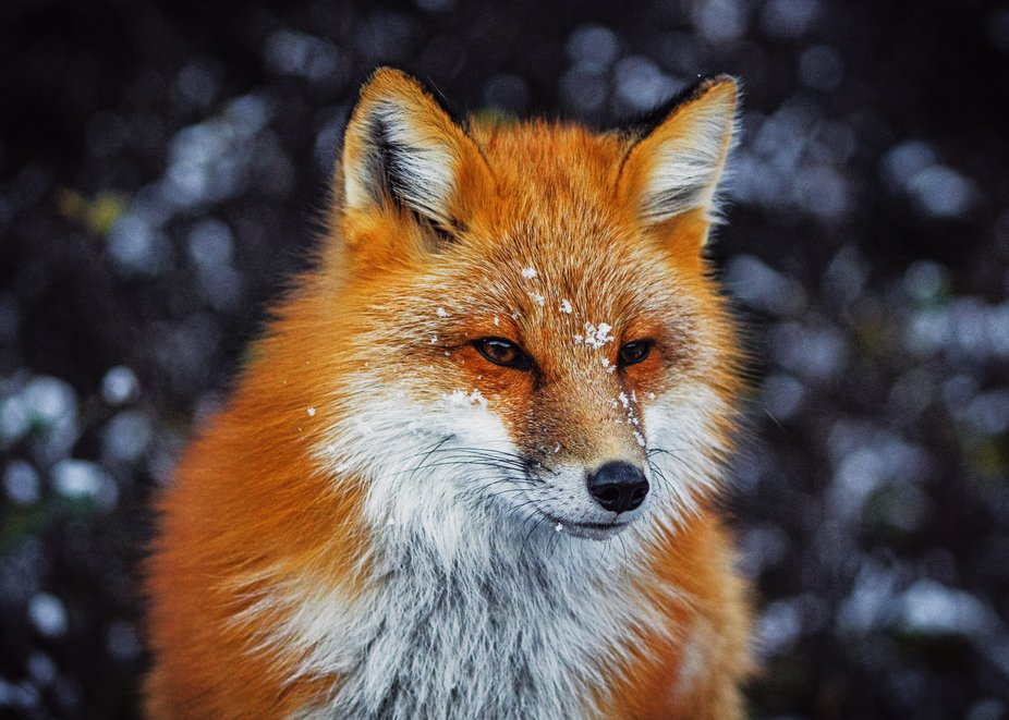 Red Fox's first snow.