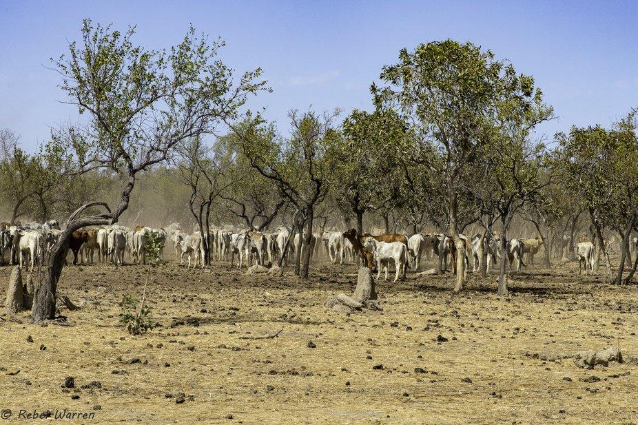 Cattle DSC5943