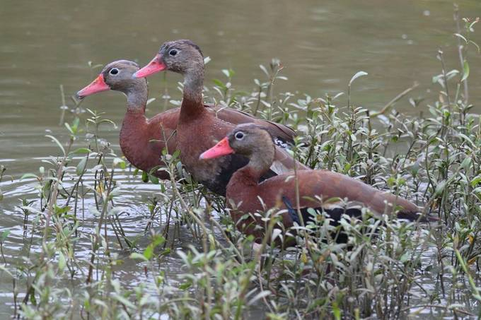 Black-bellied Whistling Duck Trio