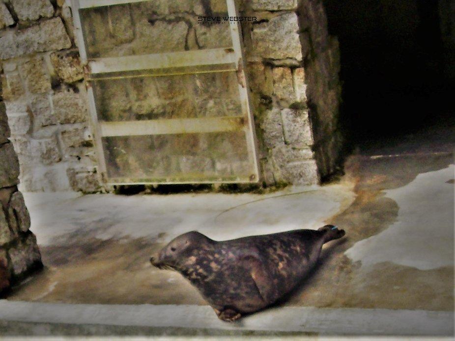 Rescued Seal 2010 Cornwall.JPG
