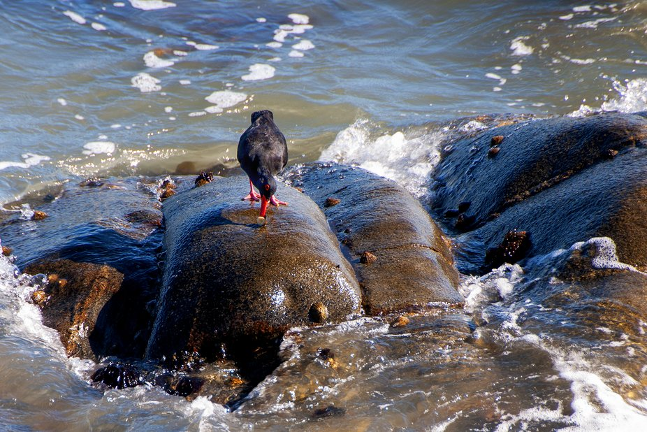 At the South Atlantic coast, a clever oyster catcher having a sashimi lunch right on the rock wit...