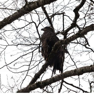 Juvenile Bald Eagle stayed in one spot and observed