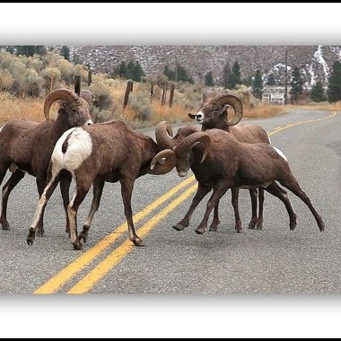 Bighorn Sheep  near Merritt BC