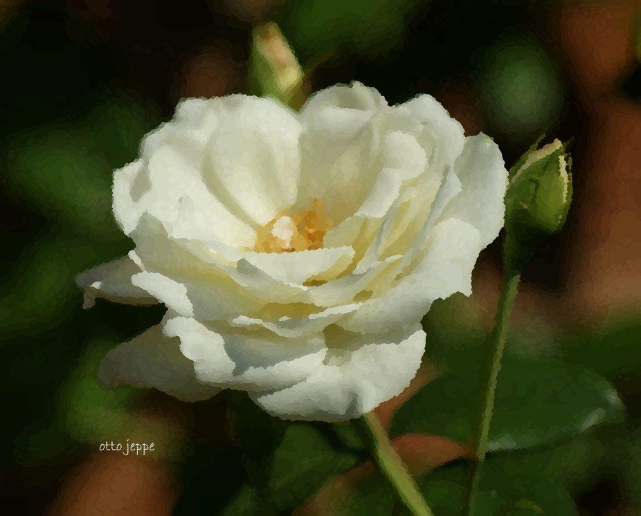 White rose of summer.JPG