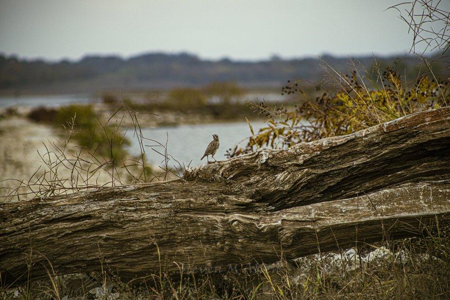 Meadowlark on a Log 2