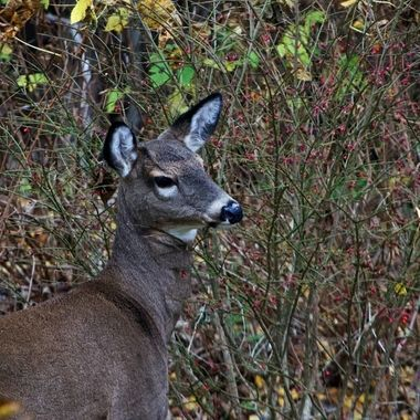 A deer in my backyard eating berries from a shrub.