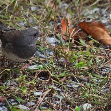 A junco eating weed seeds.