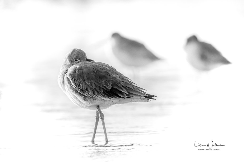 This little willet was resting amongst a whole flock of willets just beyond the shoreline.  Taken...