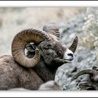 This bighorn ram seemed to like to pose for the camera..
