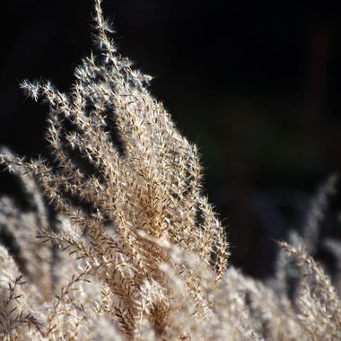 Fountain Grass blowing in the breeze on a sunny day.