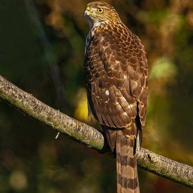 Cooper's Hawk Juvenile DSC08499