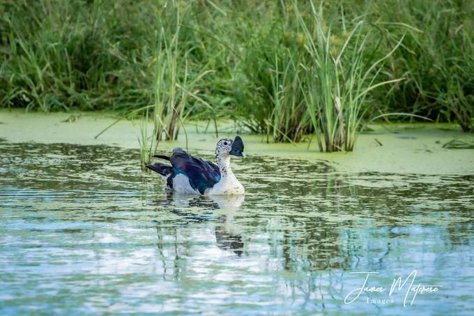 Knob-Billed Goose 3