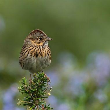 Lincoln Sparrow - DSC09147