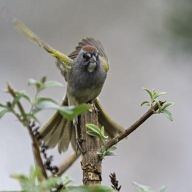 Green-tailed Towhee DSC08869