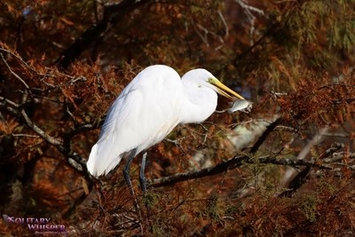 Great Egret look at my fish I caught