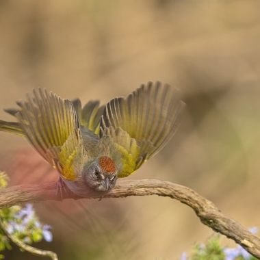 Green-tailed Towhee DSC09186