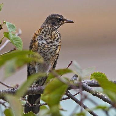 American Robin, Juvenile, IMG_9865