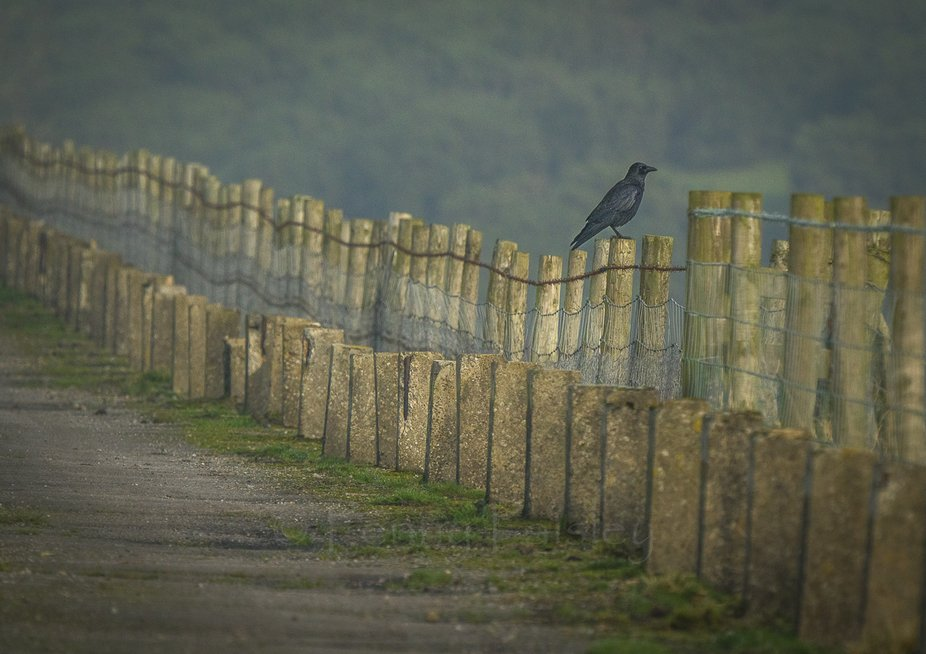 I like corvids, they're great characters.  Intelligent, curious and fast learners. Lots ...