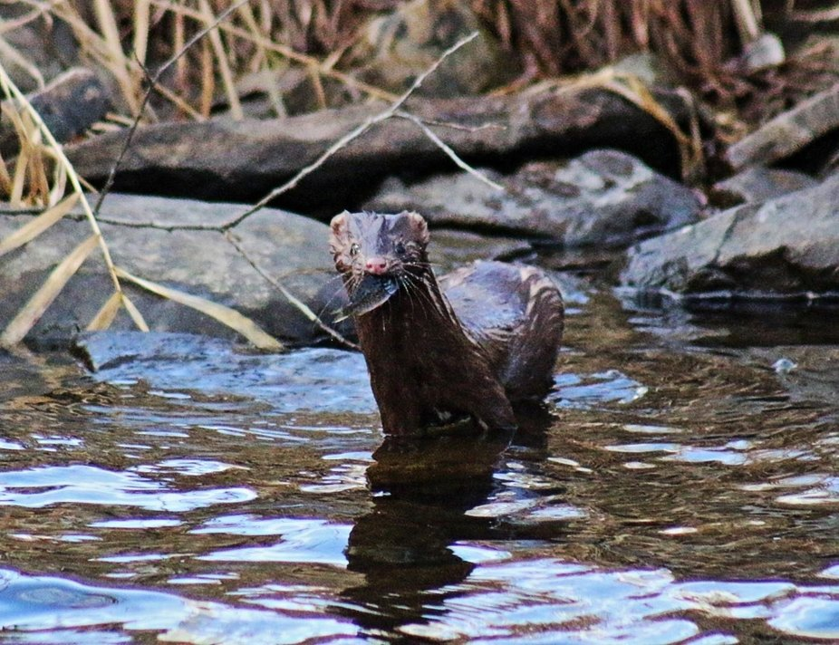 Captured this mink fishing in the river by my friends house