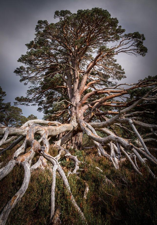 pine in Scotland
