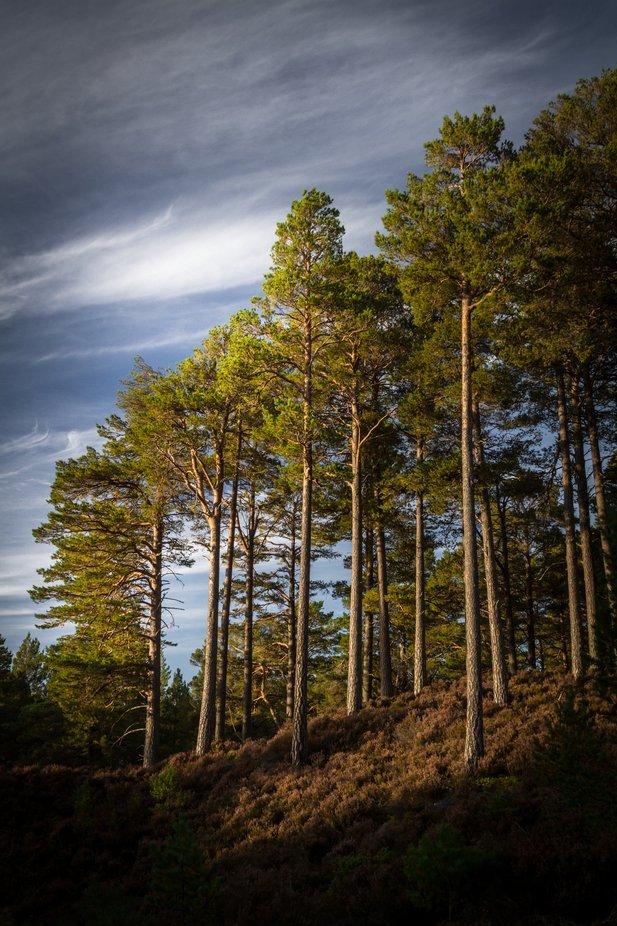 trees in Scotland