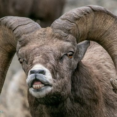 A Bighorn Ram at Spences Bridge B C