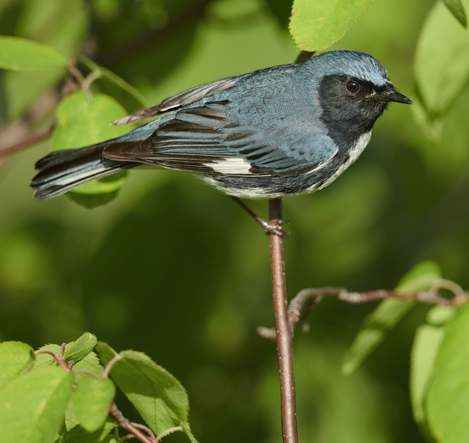 A Black Throated Blue Warbler on his nesting grounds at Oberg Mountain, near Tofte, MN.