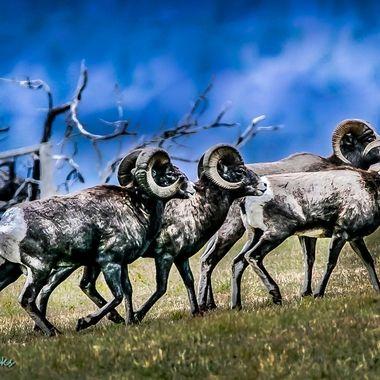 Bighorn Sheep at Spences Bridge B C