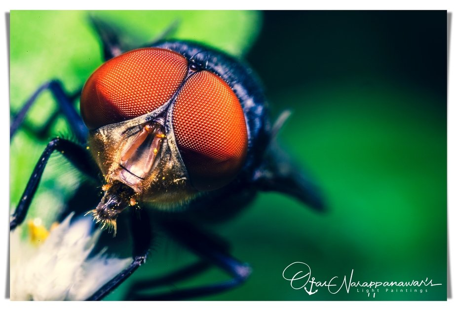 The housefly is a fly of the suborder Cyclorrhapha. It is believed to have evolved in the Cenozoi...