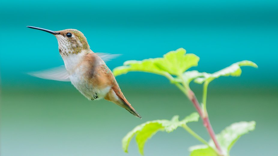 Hummingbird    Copyright © Raymond C. H. Lau. All rights reserved. My images may not be reproduc...